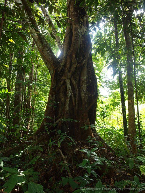 Orangutan Legacy Forest Borneo